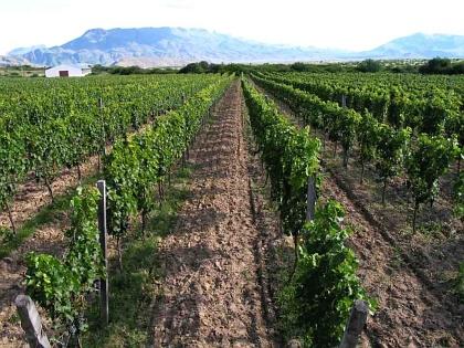 Tarija vineyards, Bolivia