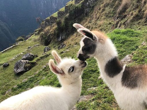 Two baby llamas that are touching their noses and green terraces of Machu Picchu behind them.
