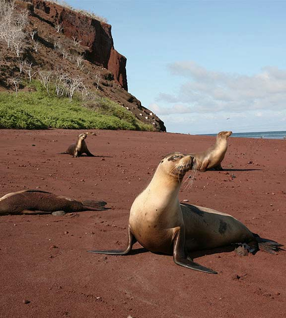 A group of Galapagos sea lions exploring a red sand beach in the Galapagos Islands.