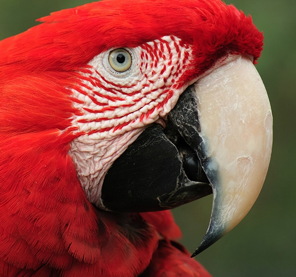 Close-up view of a scarlet macaw in the Amazon Rainforest near the Brazilian city of Manaus.
