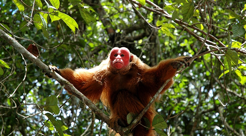 An uakari monkey with a characteristic bright red face perched in a tree in the Amazon Rainforest.
