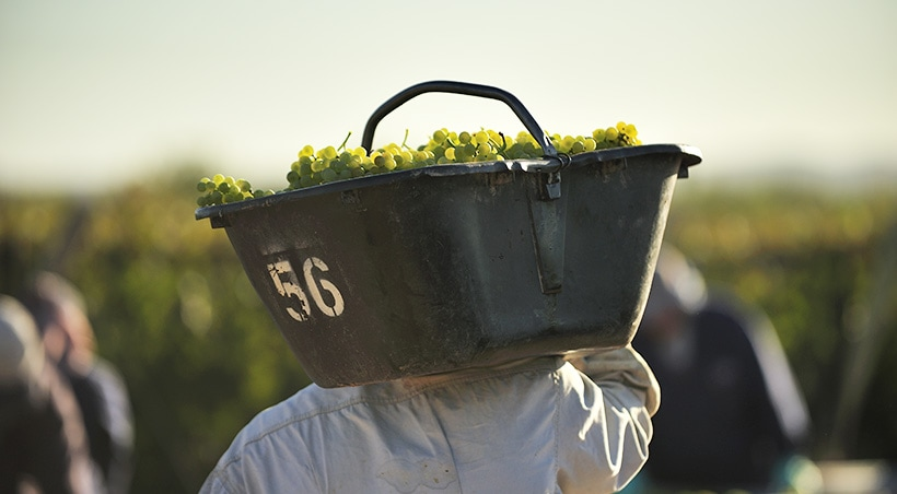 Man carrying a container full of green grapes during harvesting time at a vineyard in Mendoza.