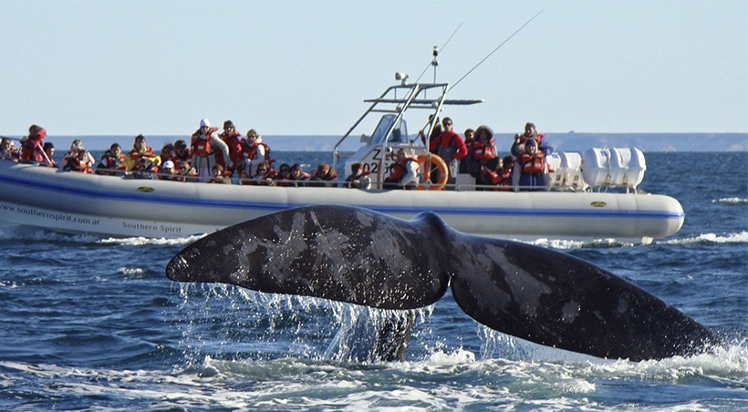 A whale's tail extending out of the water as a boat full of people watch near the Valdes Peninsula.
