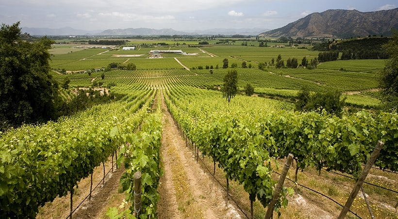 Rows of grapes extending off into the distance at a vineyard in the Maipo Valley near Santiago.