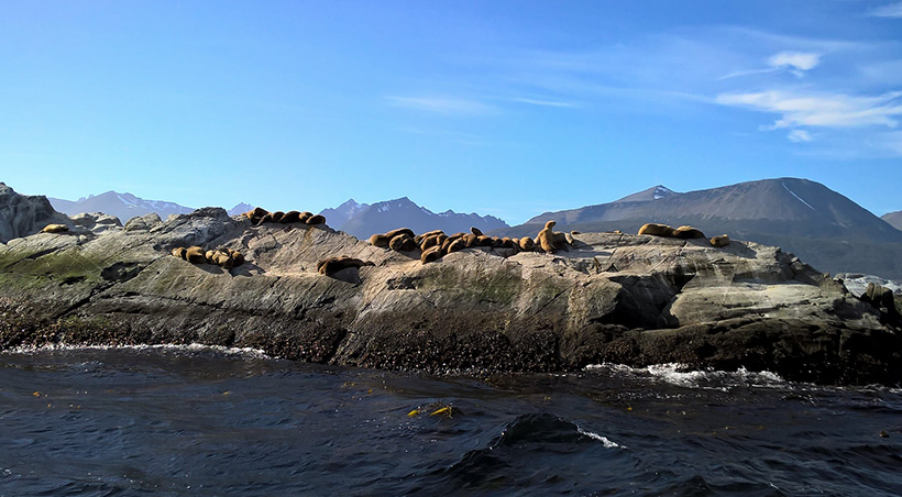 Seals sunbathing on a rock in the Beagle Channel near the southernmost point of South America.