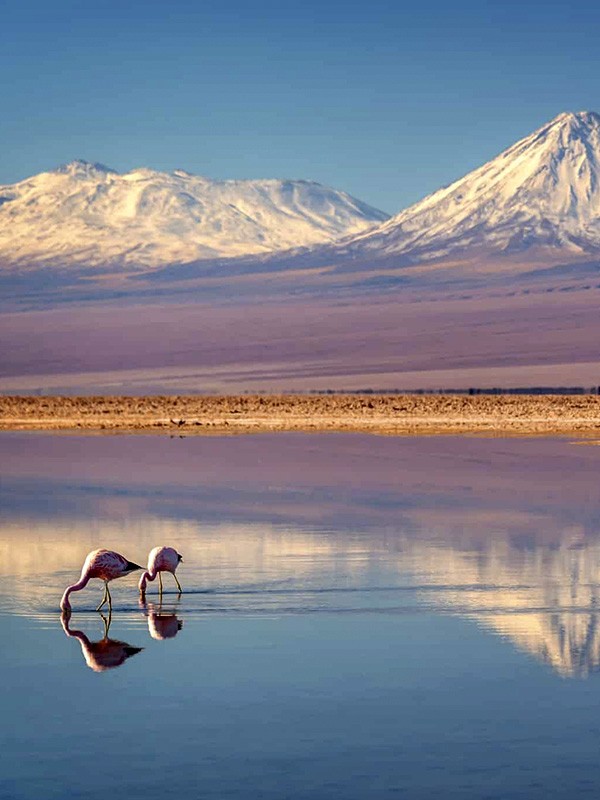 Pink flamingos grazing in a lagoon overlooked by snow-capped mountains in the Atacama Desert.
