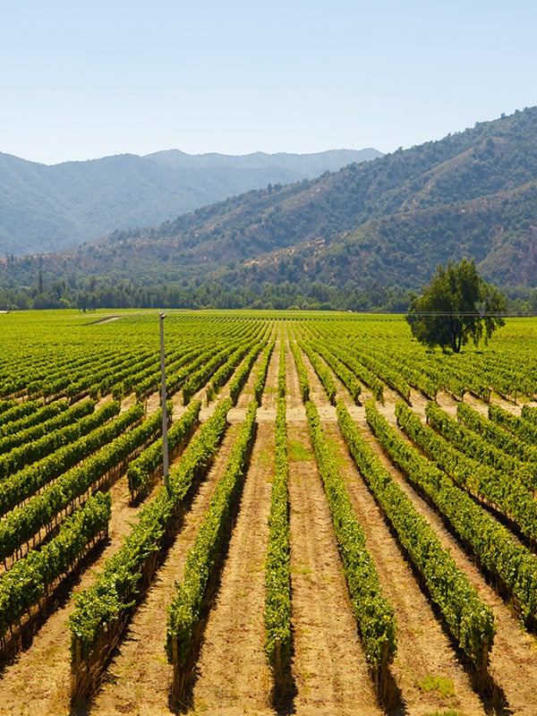 Rows of grapes overlooked by tree-covered mountains at a vineyard in Viña del Mar.