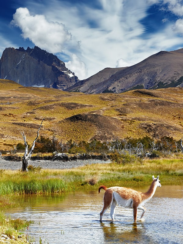 A vicuña wading through a small pond next to a field in Torres del Paine National Park.