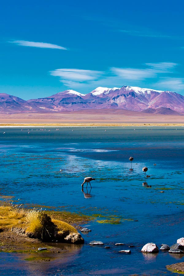 Flamingos grazing in a high altitude lagoon with pink snow-capped mountains overhead.